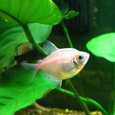 Albino Glowlight tetra | Fish | Pinterest | Peces de ...