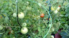 More tomatoes in the community garden plot I share.