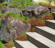 The red and green succulent plant spilling out onto the stairs is one of the many varieties of Sedum available in our area. Sedums are particularly well suited to life in a rockery because they require very little in terms of water, nutrients and care.    The blue flowers are grape hyacinths (Muscari sp.) These also happily multiply wherever they are planted.