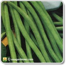 COMPANION PLANTING OF POLE BEANS: Pole beans do well with carrot, corn, chard, pea, potato, eggplant. Avoid cabbage & onion family.