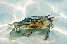 Destin Blue Crab | Flickr - Photo Sharing!
