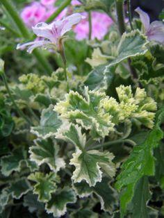 Pelargonium 'Crispum Variegatum':