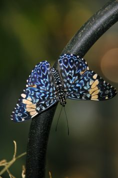I couldn't identify this butterfly but I did find that the photograph was taken at the Amsterdam Zoo.