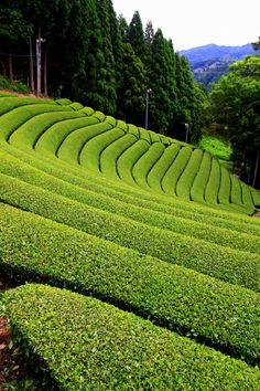 Green Tea Plantation in Wazuka, Kyoto, Japan 京都府和束町の茶畑