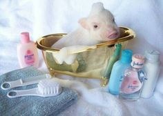 Super sweet, Incredibly Tiny, Teacup, Micro, Nano Pet Pigs Must See! Teacup Piglets, Baby Piglets, Cute Piglets, Micro Mini Pig, Cute Baby Pigs, Baby Animals, Cute Animals, Pot Belly Pigs, Mini Pigs
