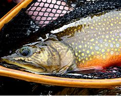This is my 5.5 brook trout from Labrador.  Got published a few times in fishing mags, I was very suprised to find it on someones Pintrist board...