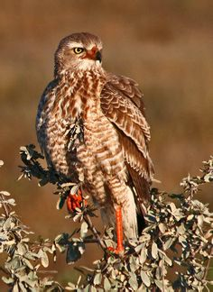 Gabar Goshawk (Micronisus gabar) is a species of bird of prey in the Accipitridae family. It is found in Africa.