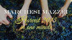 La vendemmia 2015 in un minuto - One minute Harvest 2015. @marchesimazzei #mazzei #fonterutoli #tuscany #wine