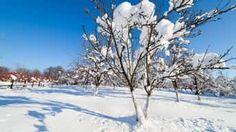 Aby ovocné stromy nezmrzli: Dokážete ich ochrániť už pri výsadbe