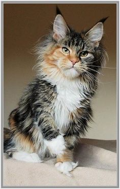 """Maine Coon""""...."""