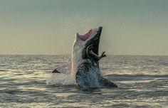 Fotos mostram momento de sorte em que foca escapa de tubarão - Terra Brasil