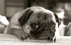 such a good pug face. ♥