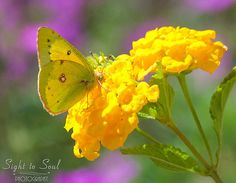 Yellow Butterfly Photo, nature photography, insect art, orange sulphur butterfly on yellow flowers, country home décor, fine art print