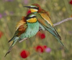 I can sing a rainbow - European Bee-eaters by Jamie-MacArthur.deviantart.com