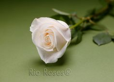 Rio VENDELA Rose Champagne ivory  Large bud  High petal count  Opens 75%  Outer petals ruffle back  8-10 day vase life  Available in 40-70 cm