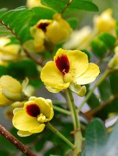 Pau-brasil (Caesalpinia echinata - Fabaceae) (Foto/Photo: Luiz Menini Neto)  Pau-Brasil Caesalpinia echinata Florífera