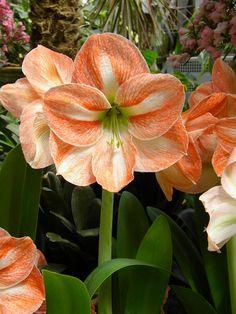 Orange flowers! -Amarylis