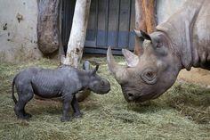Olmoti le bébé rhinocéros noir est née