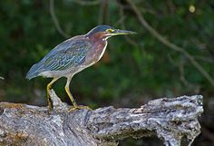 Video: A Green Heron Fishes with Bread Bait