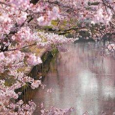 В Токио зацвела сакура, мечтательно передаёт Интерфакс