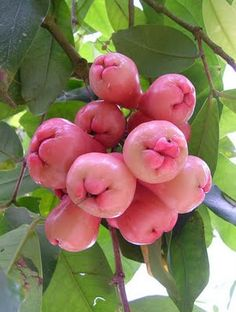 Java apple ( Jambu Air ) Miss plugging it ,  from  far away............homeland  garden
