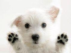 4 Chien chiot West Highland Terrier Notecards de par ASLICEINTIME, $6.99
