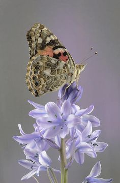 I ❤ butterflies . . . Painted Lady On Blue Bells