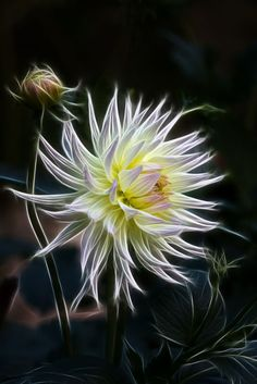 "Summer Sunshine by Alan Sheers on 500px    [ ""A dahlia given some Fractalius treatment"" ]"