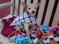 SAFE 01/20/15 (by Ready for Rescue) --- SUPER URGENT 1/16/15 Manhattan Center   PANCHO - A1025532   MALE, TAN / WHITE, CHIHUAHUA SH MIX, 10 yrs STRAY - STRAY WAIT, NO HOLD Reason STRAY  Intake condition GERIATRIC Intake Date 01/15/2015 https://www.facebook.com/photo.php?fbid=945970102082536