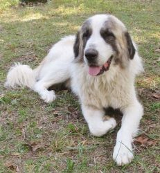 ARKANSAS SILO is an adoptable Anatolian Shepherd Dog in Mountain Home, AR. Silo is a big, lovable, huggable guy. He was rescued from a cat-hoarding situation so we know he like cats. We have been very...
