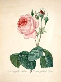 Great Cabbage Leaved Rose, Plate 105 by Pierre-Joseph Redoute | Art Posters & Prints