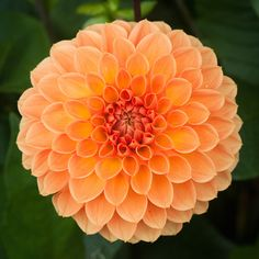 An orange Decorative Group dahlia. Rare Flowers, Flowers Nature, Exotic Flowers, Amazing Flowers, Beautiful Flowers, Cut Flower Garden, Flower Farm, Dahlia Flower, Flower Petals
