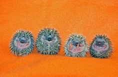 Very young baby hedgehogs!