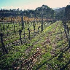 Pruning commenced... and counting #winterbrookvineyard
