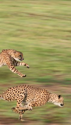 Cheetahs Running wildlife photography l AIF ...........click here to find out more http://googydog.com