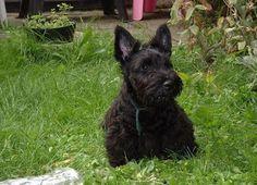 Scottish Terrier Puppy