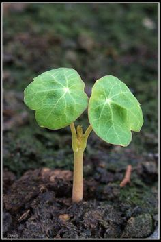 Growing nasturtiums from seed
