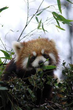 マリン  Red pandas レッサーパンダ 小熊猫