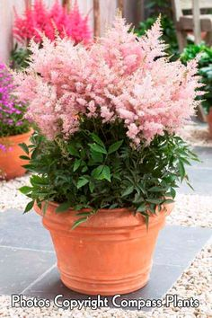 """Astilbe Younique """"silvery pink"""" - Part sun to full shade, blooms through the summer, grows just under tall. Container Flowers, Container Plants, Container Gardening, Succulent Containers, Patio Plants, Garden Planters, Potted Plants, Indoor Gardening Supplies, Strawberry Plants"""