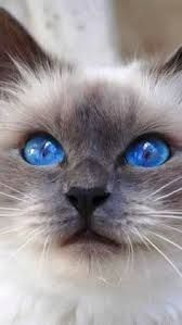 I seriously love ragdoll kittens. best images ideas about ragdoll kitten - most affectionate cat breeds - Tap the link now to see all of our cool cat collections! Pretty Cats, Beautiful Cats, Animals Beautiful, Cute Animals, Gorgeous Eyes, Pretty Kitty, Baby Animals, Animals Kissing, Beautiful Pictures