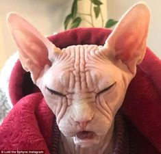 'Grumpy' sphynx takes the internet by storm Sphynx, Hairless Cats, Sphinx Cat, Cat Reference, Devon Rex, Angry Cat, Cute Cats And Kittens, Grumpy Cat, Funny Cats