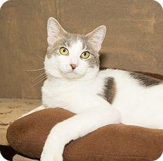 Medina, OH - Domestic Shorthair. Meet Mitch, a cat for adoption. http://www.adoptapet.com/pet/13477895-medina-ohio-cat