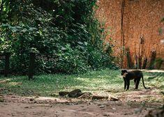 Wild monkeys were a regular sighting outside our room at the Kibale Primate Lodge in Uganda. #monkey #africa #uganda #safari Gorilla Trekking, Uganda Travel, Mountain Gorilla, List Of Activities, Paradise Found, Primate, Photo Location, Monkeys, Travel Guides