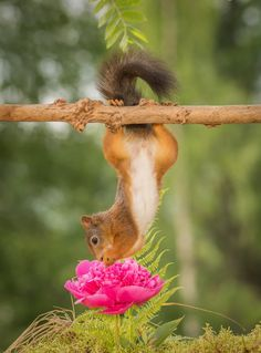 female red squirrel hanging above a flower