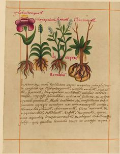 A page of the Libellus de Medicinalibus Indorum Herbis, an Aztec Herbal Manuscript composed in 1552 by Martin de la Cruz and translated into Latin by Juan Badianus