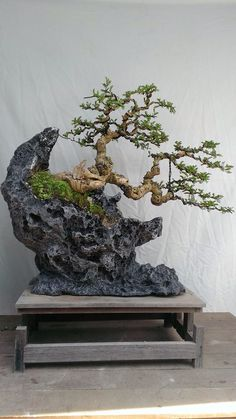 Tree planted on rock to simulate cliffside, Beautiful arrangement.the bonsai clings so strongly, yet appears precariously on the edge of the rock. I can imagine a lava cliff, where such flora grow, stunted from blowing winds. Ficus Bonsai, Indoor Bonsai, Bonsai Plants, Bonsai Garden, Ikebana, Bonsai Artificial, Bonsai Styles, Miniature Trees, Growing Tree