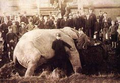 THE VIRTUAL VICTORIAN: THE STORY OF JUMBO THE ELEPHANT...