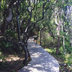 Exploring the the #SunkenForest at #FireIsland.