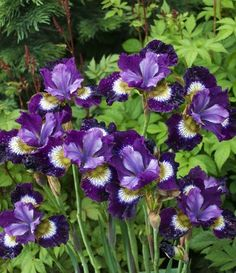 Iris sibirica (ирис сибирский) 'Contrast in Styles' | Зеленый город