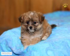 Choodle Puppy for Sale in Pennsylvania Poodle Mix Puppies, Lancaster Puppies, Puppies For Sale, Pennsylvania, Dogs, Animals, Animales, Animaux, Pet Dogs